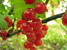red currant_1