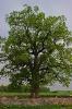 600-летний дуб