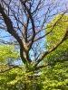 Номинация «Деревья Калининградской области»