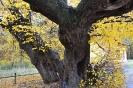 Памятник живой природы-липа в г.Светлогорске