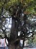 Пирамидальный дуб
