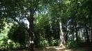 Буки лесные в Ботаническом саду