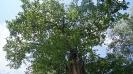 Старый дуб в Ботаническом саду