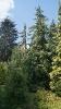 Кипарисовики Нутканские в Ботаническом Саду
