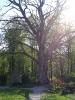 Дуб в Центральном парке г. Гурьевска