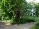 Старое лиственное дерево