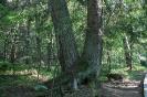 Дерево-динозаврик