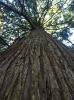 Номинация «Заморские» деревья на Куршской косе»