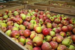В 2018 году в Калининградской области в два раза вырос урожай яблок