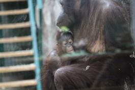 В калининградском зоопарке выбрали имя для детёныша орангутана