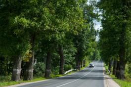 «Война за деревья»: как защищают придорожные аллеи Калининградской области
