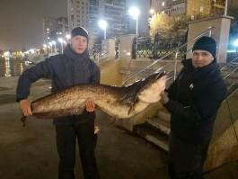 В центре Калининграда из Преголи выловили гигантского сома