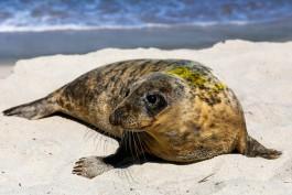 «Могли бы спасти больше»: «Биосфера Балтики» приняла четырёх тюленей на реабилитацию