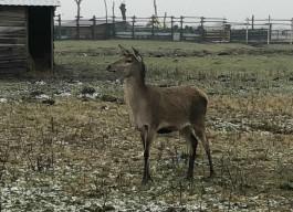 «Чувствует себя среди своих»:  в «Подворье на Хуторской» рассказали о состоянии раненого оленя
