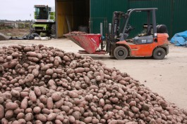 В Калининградской области началась массовая уборка овощей