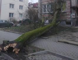 На улице Разина в Калининграде дерево упало на жилой дом