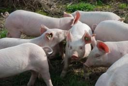Прямые убытки от АЧС на «Правдинском Свино Производстве» оценили в 1 млрд рублей