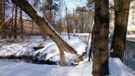 В Калининграде начали вырубку сухостойных деревьев