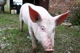 На территории одного из крупнейших свинокомплексов региона обнаружили АЧС