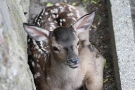 В калининградском зоопарке родился оленёнок
