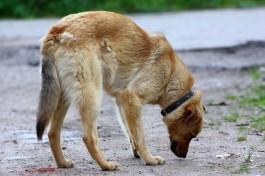 На улице Куйбышева в Калининграде на людей нападают агрессивные собаки