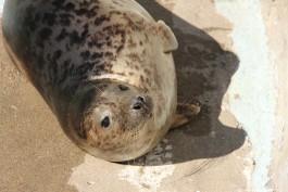 Калининградский зоопарк выпустит в Балтийское море двух тюленей
