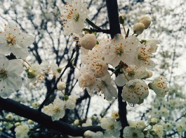 На Куршской косе высадят яблоневый сад в память о погибших при пожаре в Кемерове