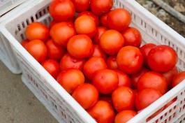 В Калининградскую область не пустили 17 тонн заражённых томатов