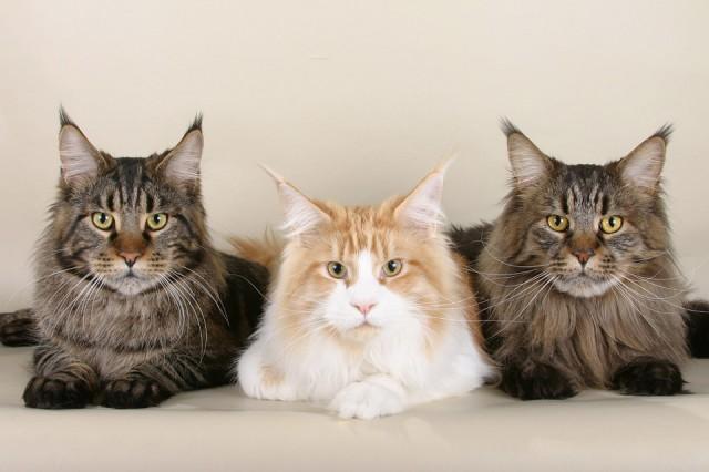 Полицейские разыскали дорогостоящих котов, пропавших изквартиры заводчицы