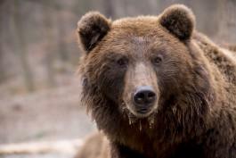Недалеко от границ Калининградской области в лесу заметили бурого медведя