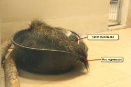 «В корыте под хвостом»: в калининградском зоопарке показали, как спит муравьед