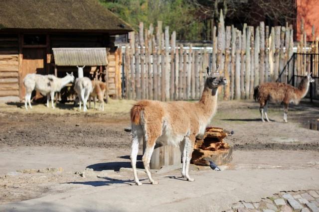 Вкалининградском зоопарке животных спасают отжары «мороженым»