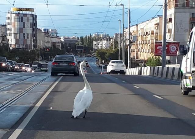 На Ленинском проспекте в Калининграде лебедь вышел на проезжую часть