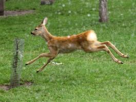 В Славском округе планируют создать центр по разведению оленей и ланей
