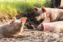 В Калининградской области планируют уничтожить ещё 43 тысячи свиней из-за АЧС