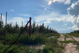 На плантации под Черняховском собрали первый урожай облепихи