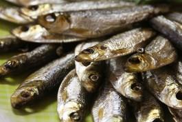 Власти: Калининградские рыбаки в полтора раза увеличили добычу кильки