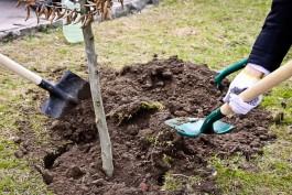 За четыре года должники по компенсационному озеленению не высадили в Калининграде 4500 деревьев