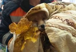 На улице Сусанина в Калининграде спасатели нашли раненую лису и отвезли её в ветклинику