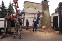 У входа в калининградский зоопарк спилили вековой дуб