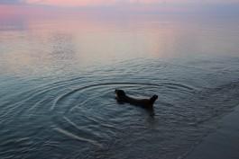 В Балтийское море выпустили двух тюленей, родившихся в калининградском зоопарке