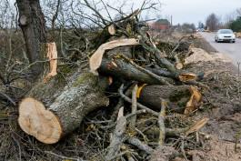 В микрорайоне Космодемьянского вырубят 42 придорожных дерева