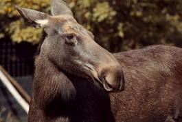 Очевидцы: Утром на трассе Балтийск — Калининград «Мерседес» сбил лося