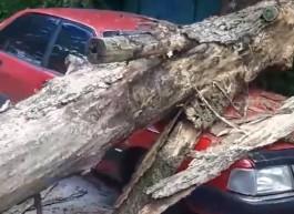 На Литовском валу в Калининграде дерево упало на автомобиль