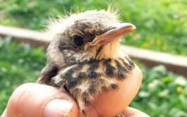 «Что делать, если вы нашли птенцов-слётков»: памятка от калининградского зоопарка