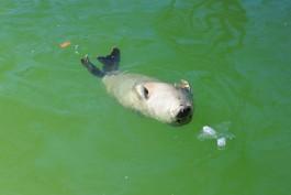 За десять дней на литовском побережье нашли восемь тюленят