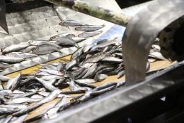 Власти разрешили выловить в Калининградском заливе четыре тысячи тонн салаки