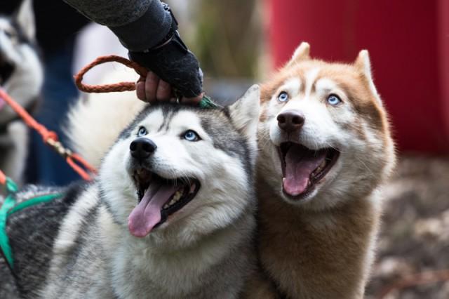 Калининградец требует 250 тысяч рублей с хозяина хаски за нападение пса на его пятилетнюю дочь