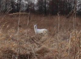 В Калининградской области обнаружили уникальную белую косулю