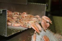 В Калининградскую область не пустили 21 тонну креветок из Эквадора